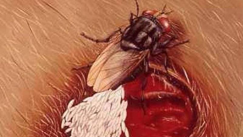 Что будет, если съесть яйца или личинки мухи. мясная муха: описание, личинки, срок жизни борьба с непрошеными гостями