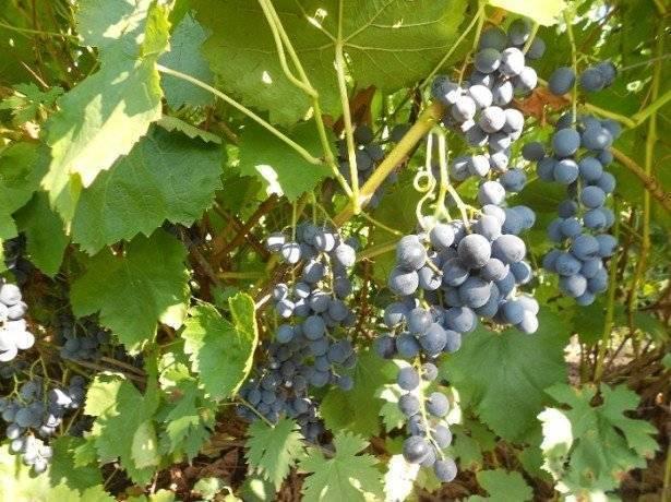 Как вести борьбу с осами на винограднике