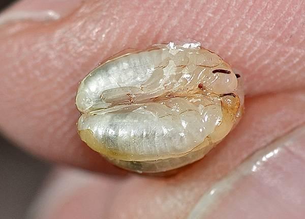 Тараканы мутанты. где тараканы обычно прячутся в квартире и могут ли они ползти из канализации? относятся к сильным аллергенам