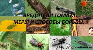 Распространенные болезни помидоров: фото и их лечение