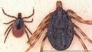 Сколько живет клещ: что влияет на продолжительность жизни паразита