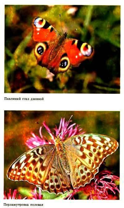 Бабочка дневной павлиний глаз: описание и фото