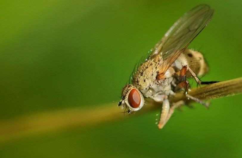 Луковая муха — как быстро избавиться?