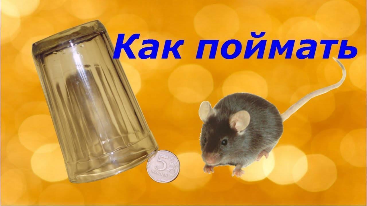 Как поймать мышь в доме без мышеловки? лучший способ с бутылкой!