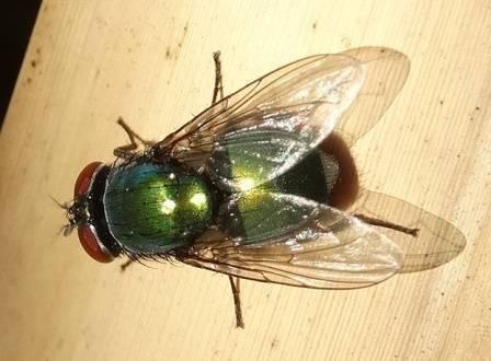 Мясные мухи – опасное семейство