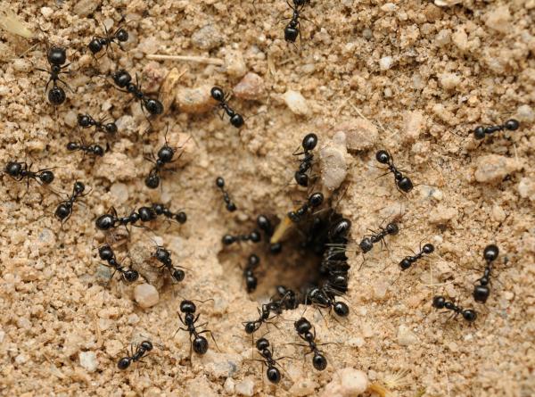 Пшено от муравьёв: экологичный метод избавиться от надоедливых насекомых