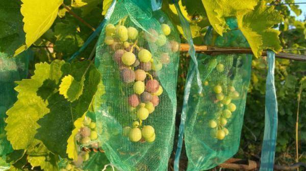 Зашита винограда от ос: обзор простых, но эффективных методов