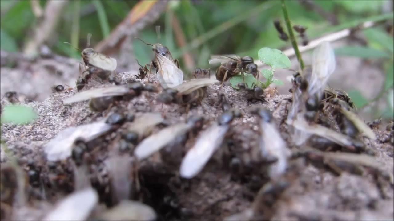 Что собой представляет летающая разновидность муравьев и их особенности