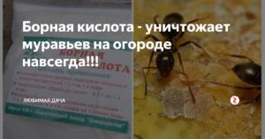 Борная кислота против муравьев в квартире и огороде