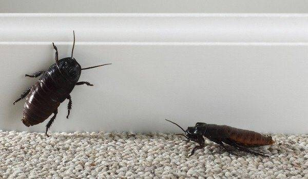 К чему снится таракан?