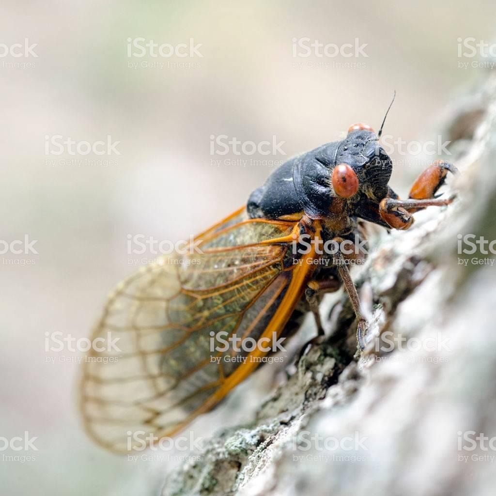 Особенности строения и поведения цикад