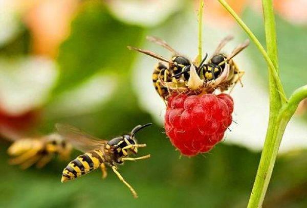 Какая бывает отрава для ос: обзор химических средств-инсектицидов