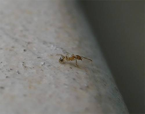 Маленькие муравьи – большие проблемы, или как справиться с незваными гостями