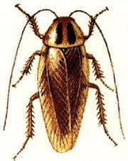 Экзотические гиганты: можно ли содержать тараканов архимандритов дома