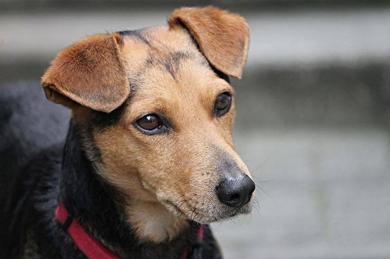 Как избавить щенка от блох в домашних условиях?