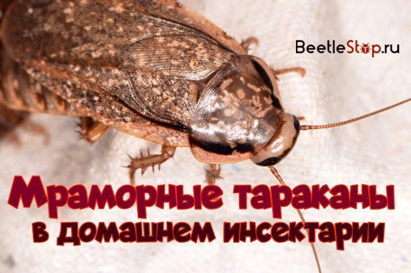 Мраморные тараканы— как разводить правильно