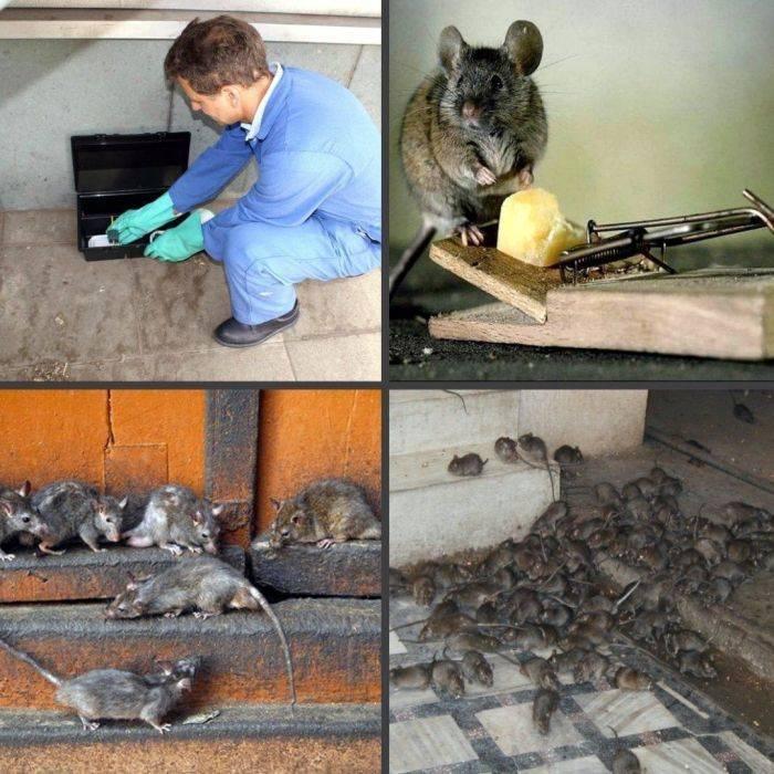 Опасные грызуны: нападают ли крысы на людей