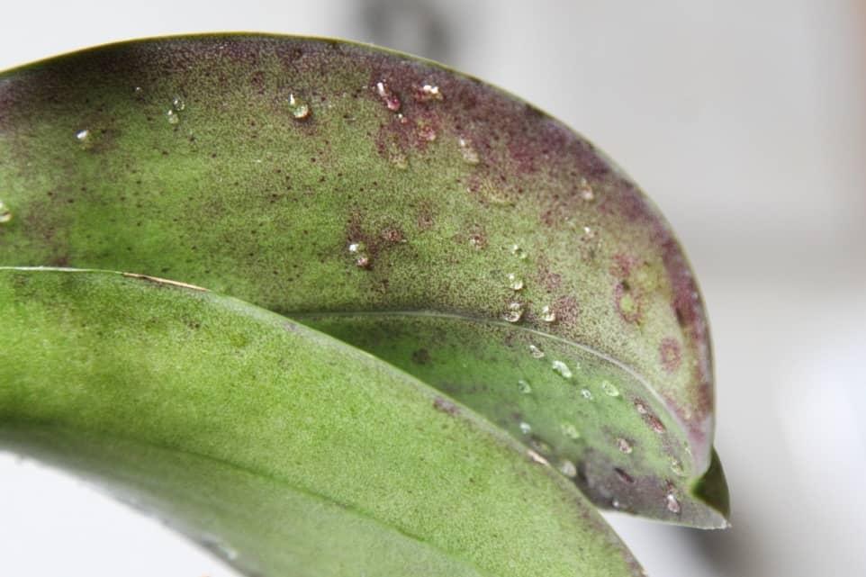 Откуда появляется тля на орхидеях?