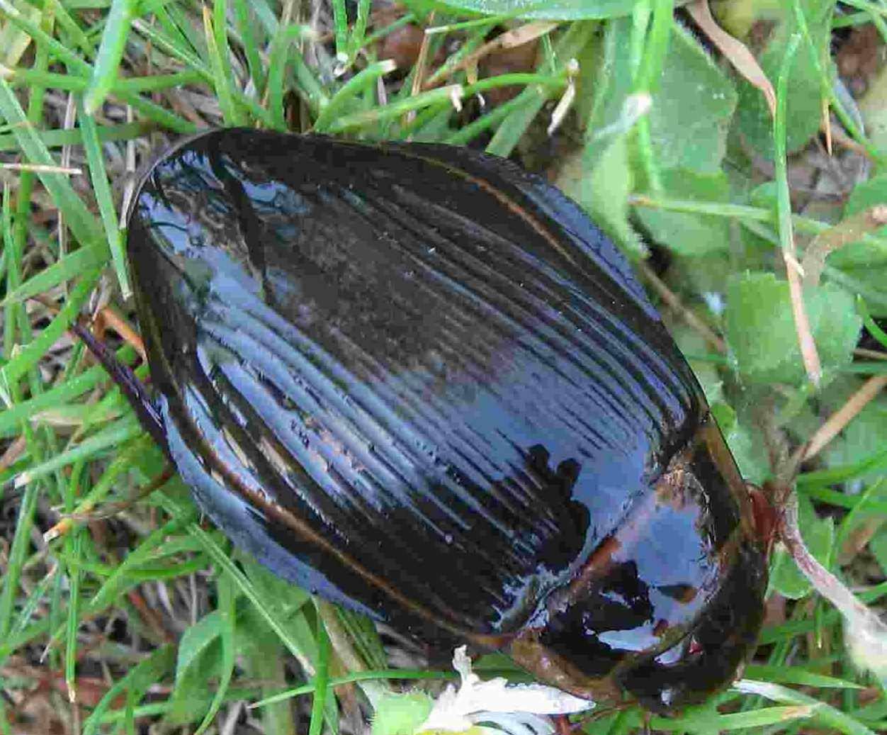 Жуки плавунцы: где они обитают и чем питаются