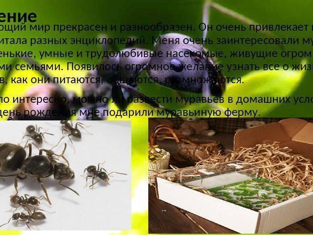 Чем питаются муравьи: основная пища. пищевые пристрастия насекомых: что едят муравьи