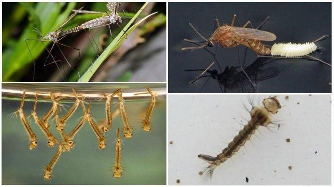 Как выглядят и где водятся большие комары-долгоножки? опасны ли они для человека?