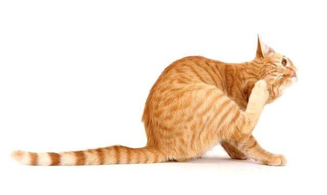 Опасны ли клещи для кошек и что делать при укусе