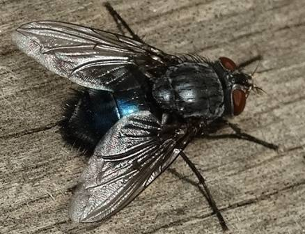 Серая мясная муха — мировой падальщик