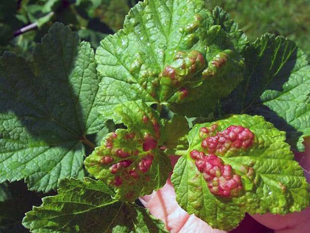 Паутинный клещ на смородине: советы как бороться с вредителем и основные методы лечения смородины (95 фото + видео)