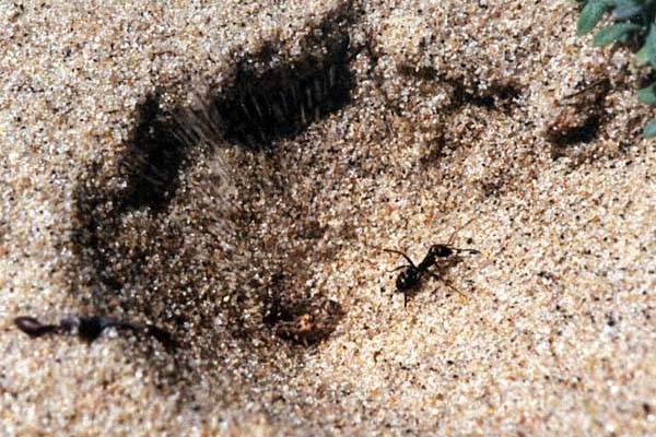 Муравьиные львы как выглядят? личинки муравьиного льва. муравьиный лев обыкновенный – хищник песчаных берегов