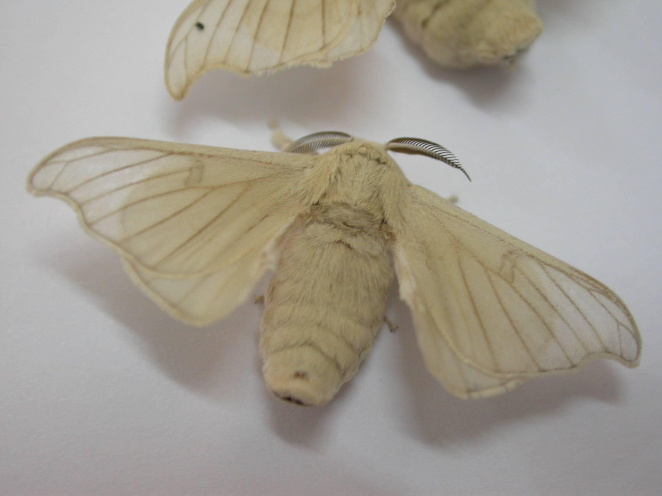 Виды шелкопряда