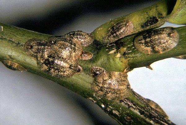 Разнообразие вредителей лимона. методы борьбы и профилактики