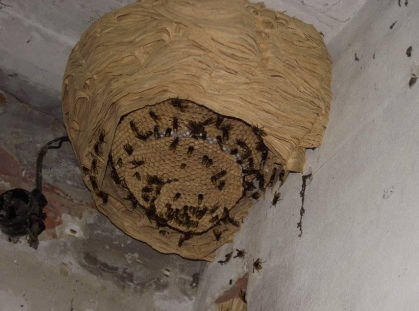 Где зимуют осы, спят ли насекомые в холодный период года? как уничтожить осиное гнездо при какой температуре осы засыпают