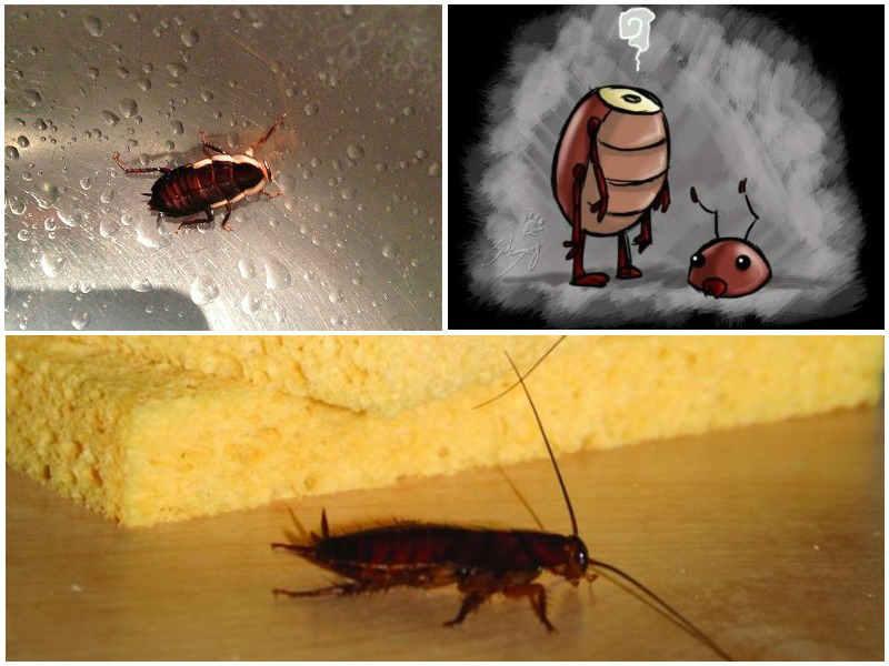 Сколько живут тараканы домашние. сколько живет таракан, и как долго он может без еды и воды