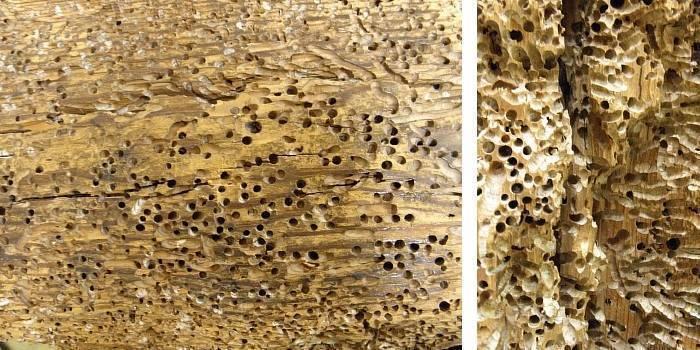 Препараты от шашеля: проверенные народные средства и промышленные растворы. как избавиться от шашеля в полу, в мебели и в стропилах, балках как бороться с шашелем в домашних условиях