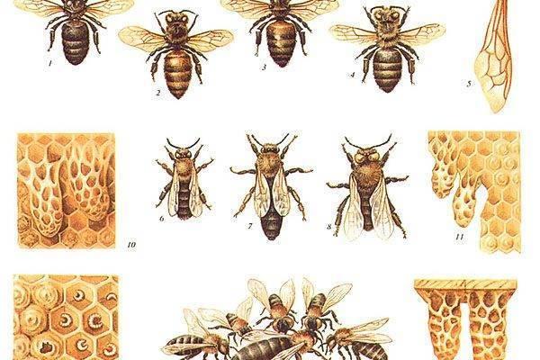 Выбираем породу пчел: карпатка и среднерусская