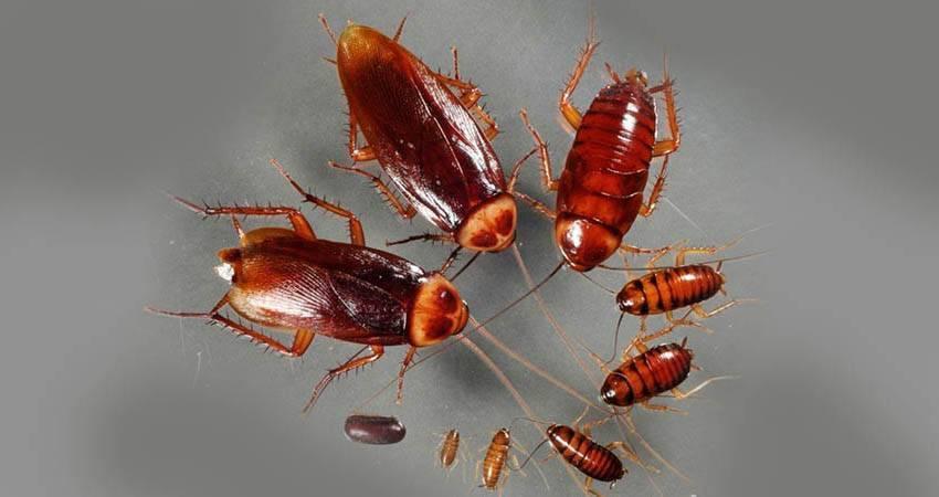 Как живут и размножаются тараканы?