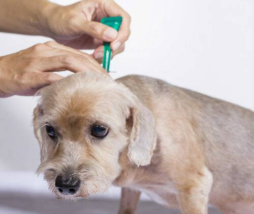 Как выглядят блохи у собак: фото, основные признаки их присутствия, средства борьбы и меры профилактики