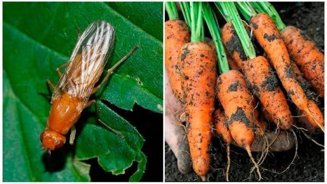 Как бороться с морковной мухой и её личинками: методы профилактики, средства для обработки (полива)