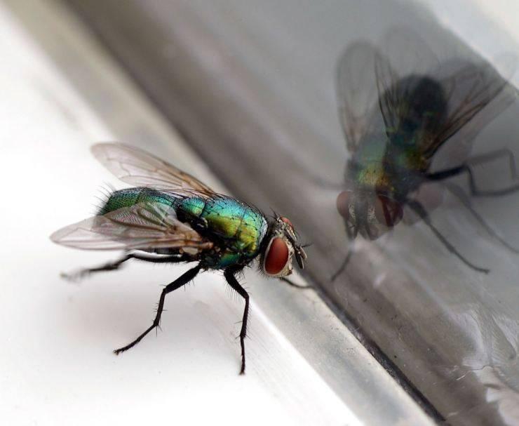 Какова продолжительность жизни мух?