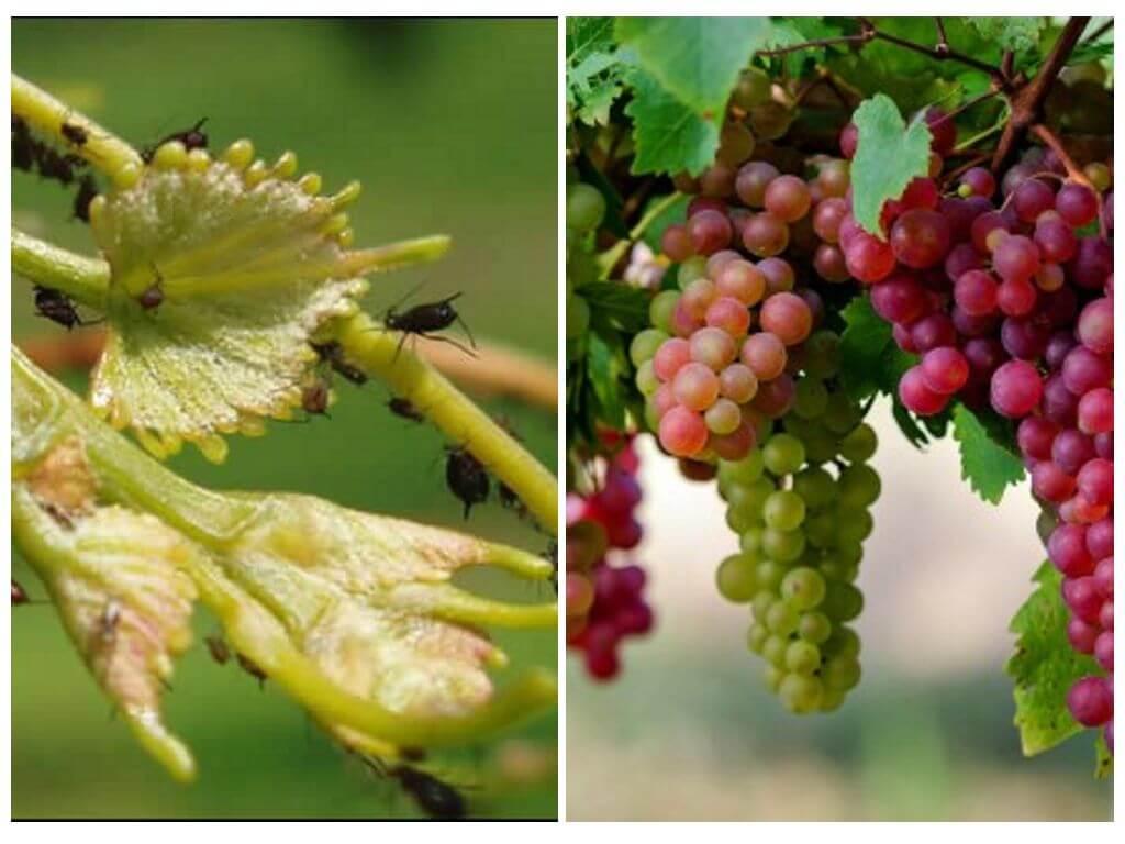 Самые опасные вредители винограда (описание и методы борьбы)