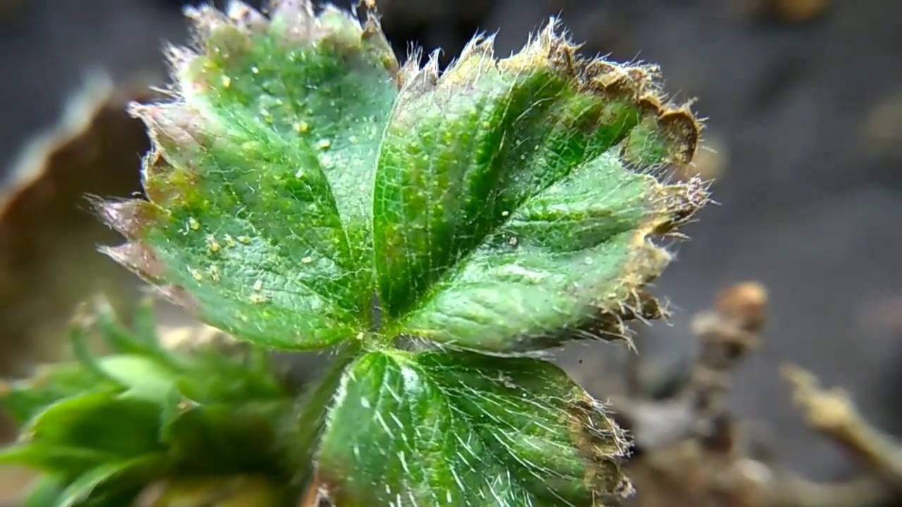 Паутинный клещ на комнатных, огородных и тепличных растениях. какие способы борьбы существуют