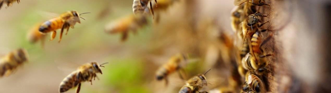 Лечение пчел от варроатоза