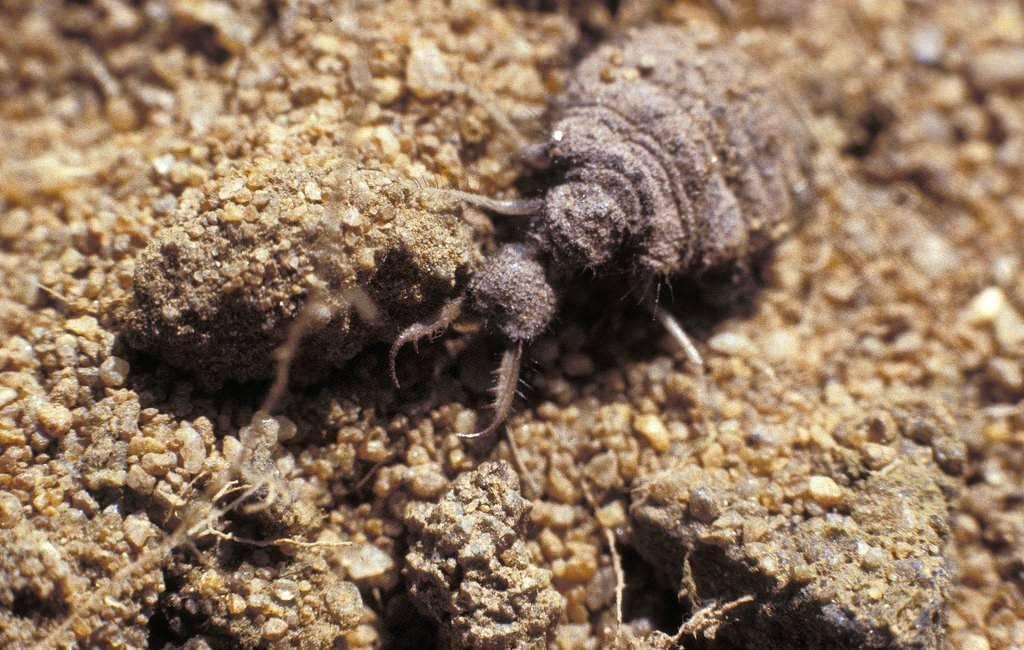 Чем опасен муравьиный лев для человека. муравьиный лев видео