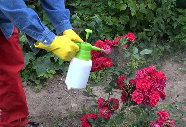 Как использовать нашатырный спирт против тли на розах