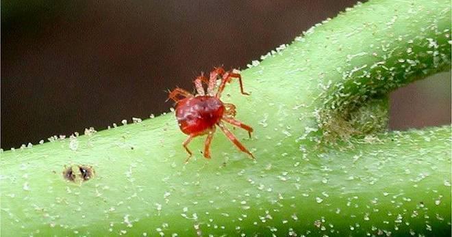 Как бороться с паутинным клещом на комнатных растениях?