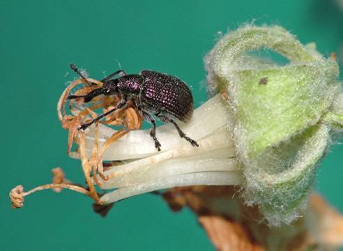 Как спасти грушу от ржавчины – признаки болезни, схема обработки сада