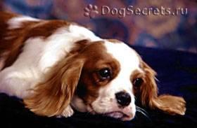 Как вывести вшей у собаки в домашних условиях