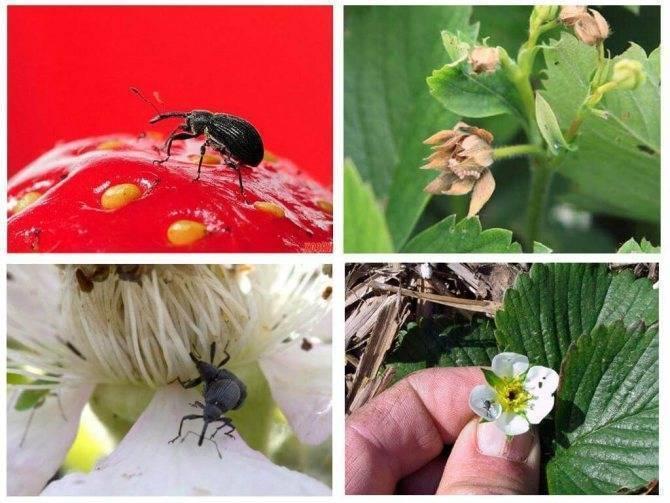 Всё в наших руках: как спасти урожай и защитить малину от вредителей и болезней