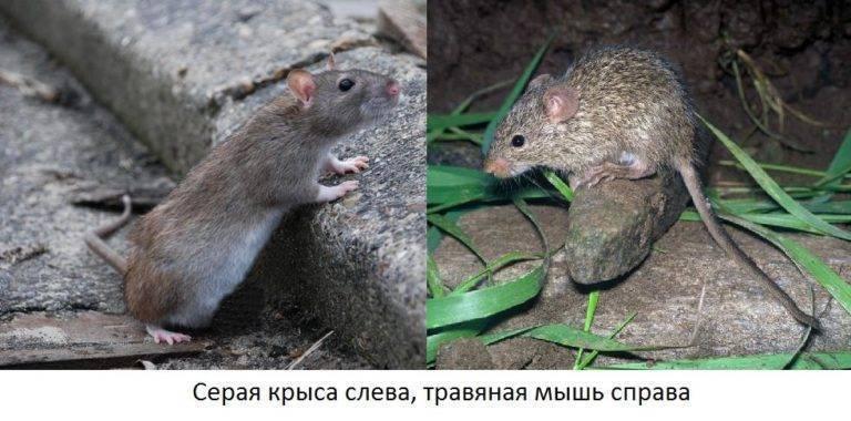 Чем крысы отличаются от мышей: биологическая и поведенческая дифференциация грызунов