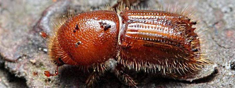 Как бороться с короедом в саду народными средствами и инсектицидами?